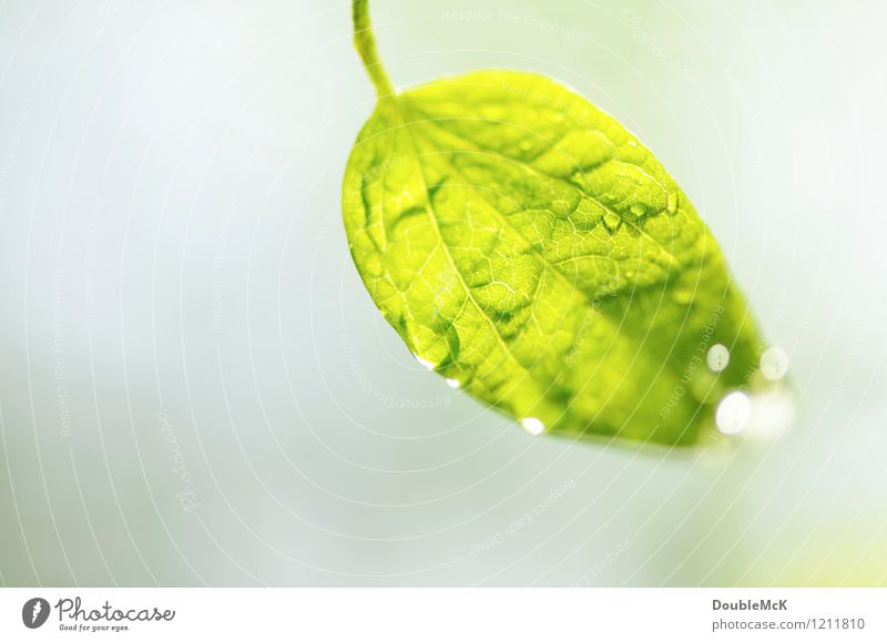 Tropfen, tropft! Natur Pflanze grün Wasser weiß Blatt ruhig Umwelt Leben natürlich grau hell leuchten frisch Wassertropfen Blühend