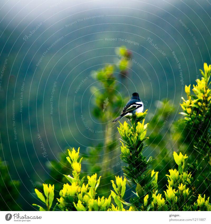 Wenn ich ein Vöglein wär... Natur Pflanze grün weiß Tier schwarz gelb Frühling klein grau Vogel Sträucher sitzen gefiedert