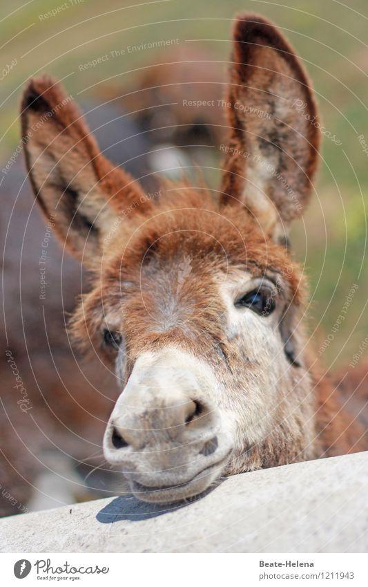 Eselsohren sind einfach wunderschön ... Ferien & Urlaub & Reisen Tourismus Ausflug Sommer Sommerurlaub Sonne Natur Tier beobachten Erholung warten exotisch