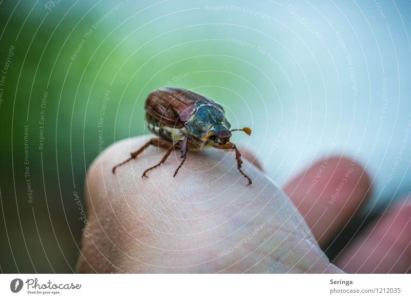 Mein treuer Freund Umwelt Natur Landschaft Pflanze Tier Sonne Sommer Herbst Käfer Tiergesicht Flügel Maikäfer Außenaufnahme Nahaufnahme Detailaufnahme