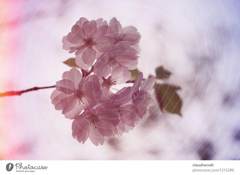 Rosaaa Umwelt Natur Pflanze Himmel Frühling Baum Blüte Kirschblüten Kirschbaum Zierkirsche Blühend retro rosa Blendeneffekt Unschärfe Farbfoto Außenaufnahme