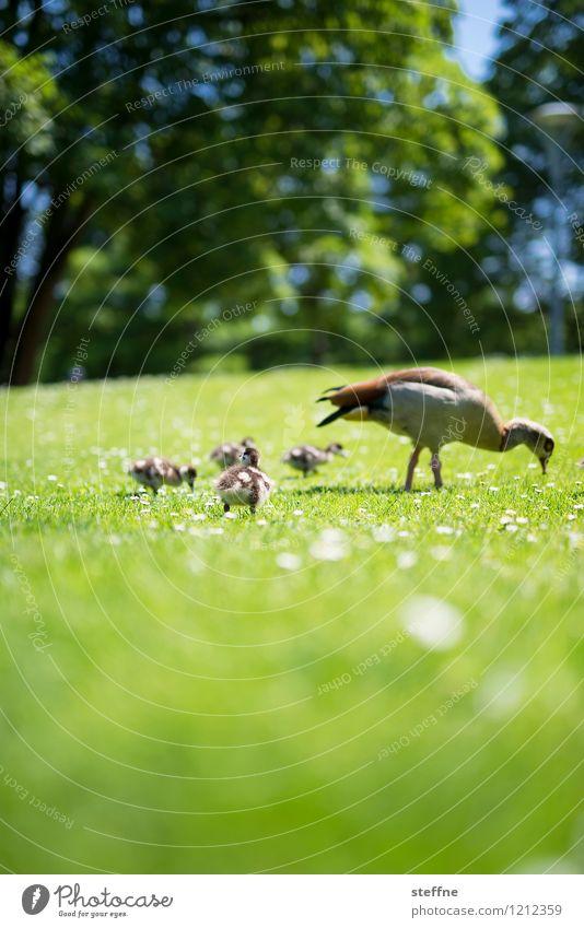Tierisch gut: Gans in Familie grün Frühling Wiese Vogel Wildtier Tiergruppe niedlich Schönes Wetter Küken Tierfamilie