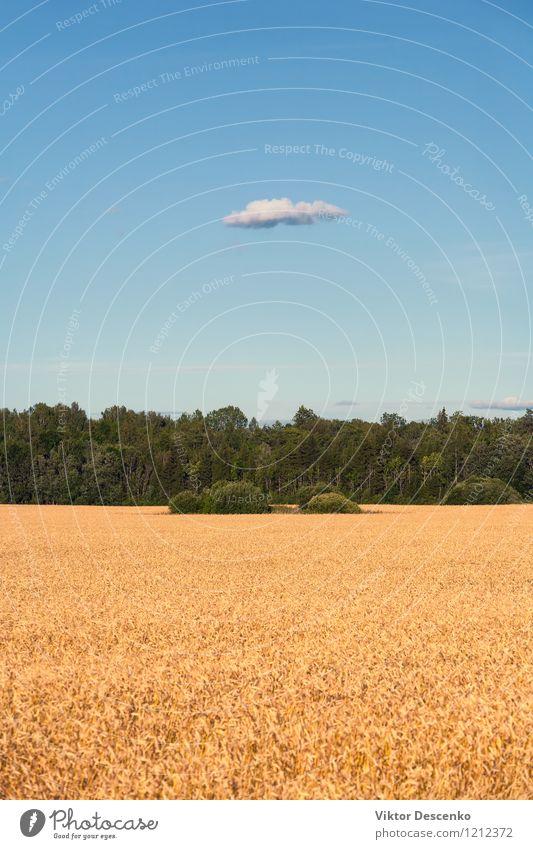 Gelbes Feld des Kornes gesät im Wald und im blauen Himmel Sommer Natur Landschaft Pflanze Wolken Wärme Baum Blume Wachstum gelb gold grün weiß Hintergrund