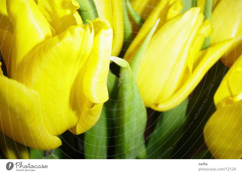 Frühling2 Tulpe sattes Gelb und Grün