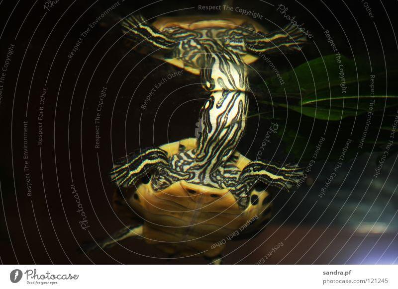 Kopflos? Schildkröte Spiegel grün gelb Krallen Wasserschildkröte schwarz Wasseroberfläche Oberfläche Aquarium Reptil Reflexion & Spiegelung Schwumm Schwimmhäute