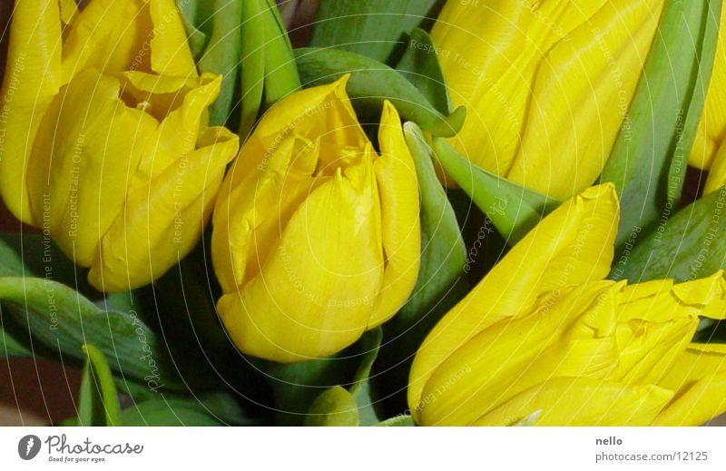 Frühling Tulpe Frühlingsgefühle gelb grün