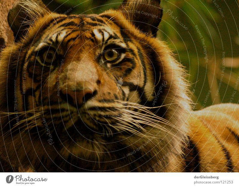 Alarmbereitschaft Auge gelb Haare & Frisuren Katze braun Angst Nase groß Kraft Geschwindigkeit gefährlich bedrohlich Ohr Fell Säugetier Tiger