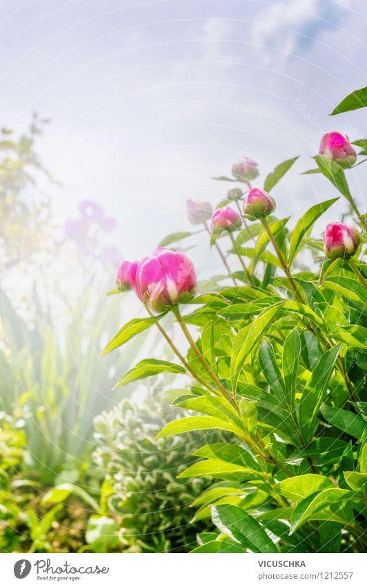 Garten mit Pfingstrosen Himmel Natur Pflanze Sommer Blume Blatt Frühling Blüte Stil Hintergrundbild rosa Park Design Nebel Blütenknospen
