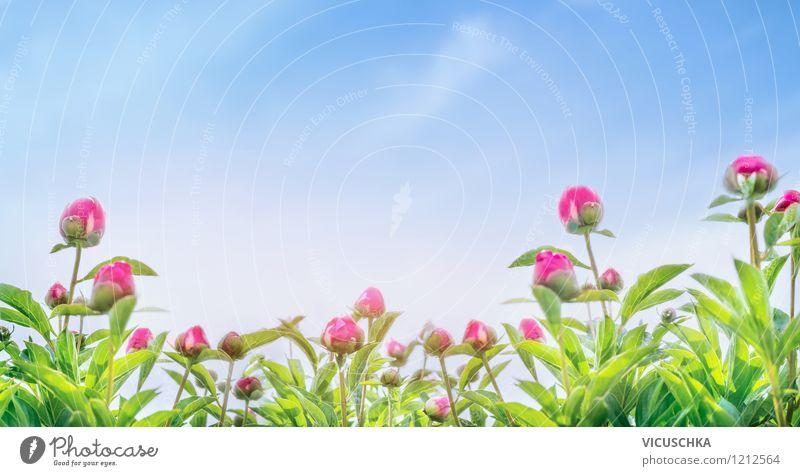 Pfingstrosen Panorama Himmel Natur Pflanze Himmel (Jenseits) grün Sommer Blume Blatt gelb Blüte Frühling Stil Hintergrundbild Garten rosa Design