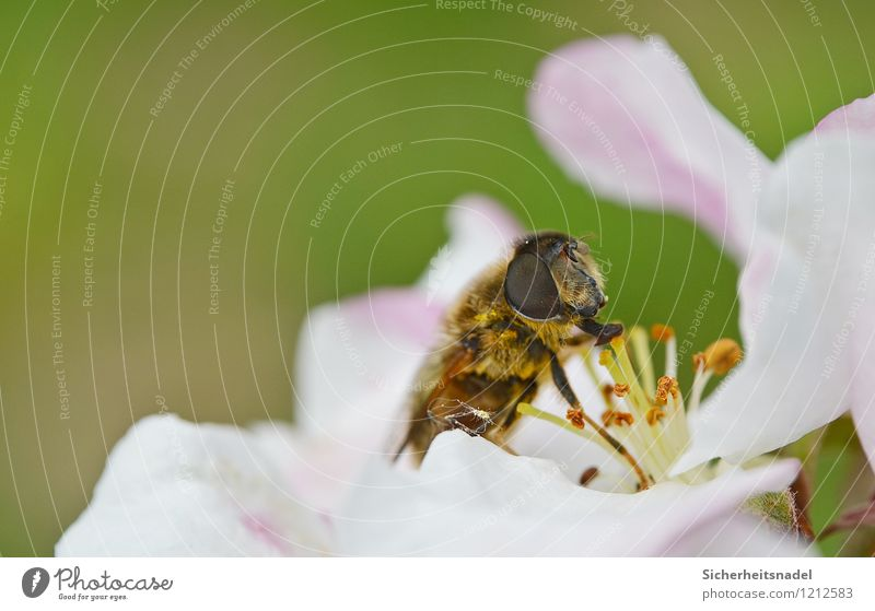 nom nom nom Natur Blume Blüte Biene Blühend Essen fliegen Kirschblüten Nahaufnahme Makroaufnahme Farbfoto Außenaufnahme