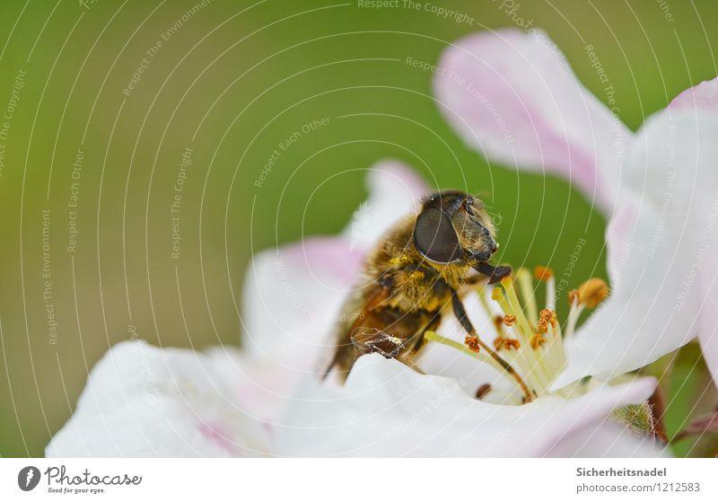 nom nom nom Natur Blume Blüte Essen fliegen Blühend Biene Kirschblüten