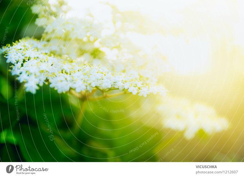 Holunderblüten Natur Pflanze Sommer Sonne Blatt Frühling Blüte Stil Hintergrundbild Garten Lifestyle Park Design Sträucher Schönes Wetter Duft