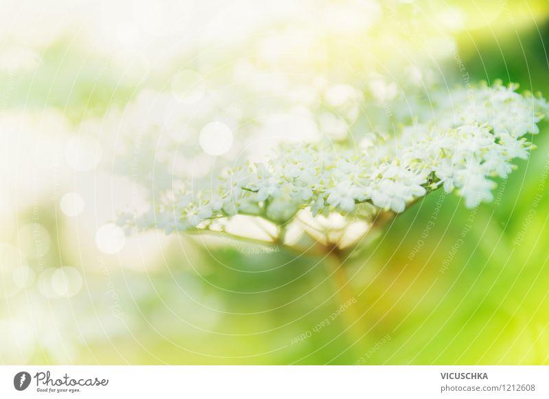 Feine Holunderblüten im Garten Design Alternativmedizin Gesunde Ernährung Leben Natur Pflanze Sonnenlicht Frühling Sommer Blume Blatt Blüte Park Duft