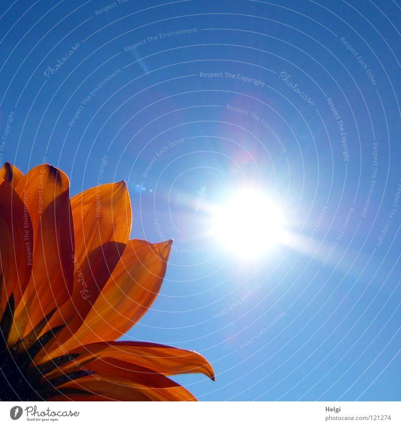 Blütenblätter einer gelben Blüte im Gegenlicht vor blauemn Himmel mit Sonne Blume Blühend Blütenblatt Pflanze Licht Sonnenlicht Beleuchtung Mittagsblumen