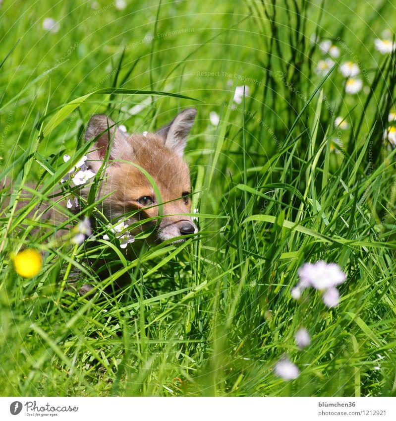 Naseweis Tier Wildtier Fuchs Tiergesicht Landraubtier Säugetier Kopf Auge Ohr Fell Tierjunges beobachten entdecken hören Blick frech klein natürlich Neugier