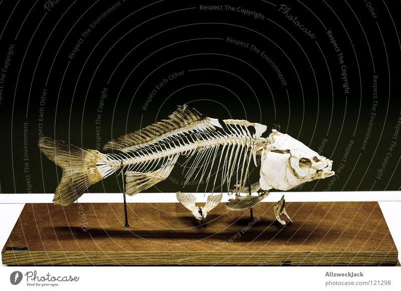 Fischgrätenmuster alt Tod Zusammensein Schilder & Markierungen Bildung Museum Angeln Scheune Schwimmhilfe Biologie Ausstellung Schulunterricht Skelett