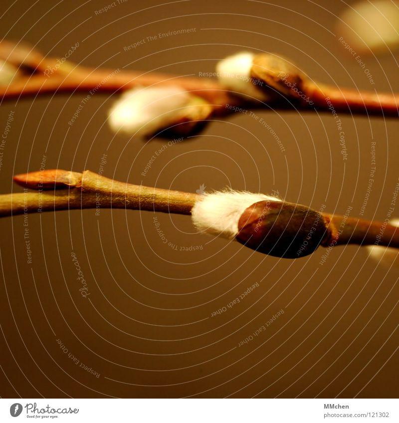 Schönen Gruß vom Herrn Lenz Weidenkätzchen Sal-Weide weiß braun grün weich zart Frühling Sträucher Blüte beweglich Allergiker Park Dekoration & Verzierung Zweig