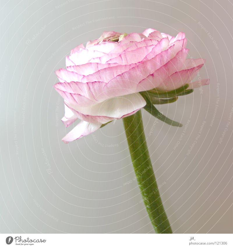 rosa ranunkel weiß Blume grün Pflanze Blüte Frühling hell zart leicht Trollblume