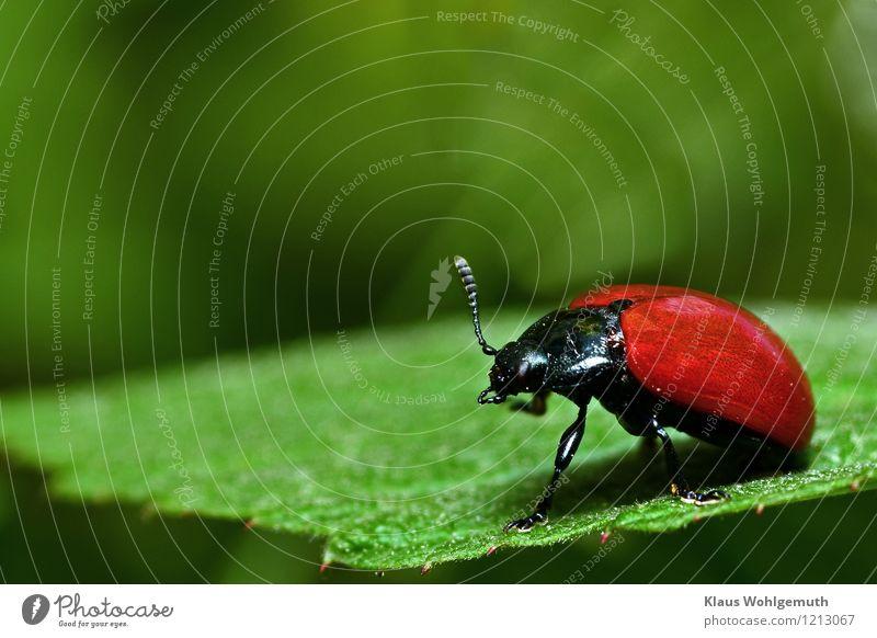 Schwarz, Rot, Grün Umwelt Natur Tier Sommer Pflanze Park Wald Käfer Flügel Pappelblattkäfer Kerf 1 sitzen grün rot schwarz Reinigen Körperpflege Farbfoto