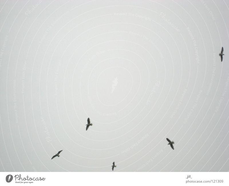 pure Gesellschaft (Soziologie) Winter grau dunkelgrau Vogel möve möven Luftverkehr fliegen mehrere Schönes Wetter Himmel hellgrau mittelgrau _jil_