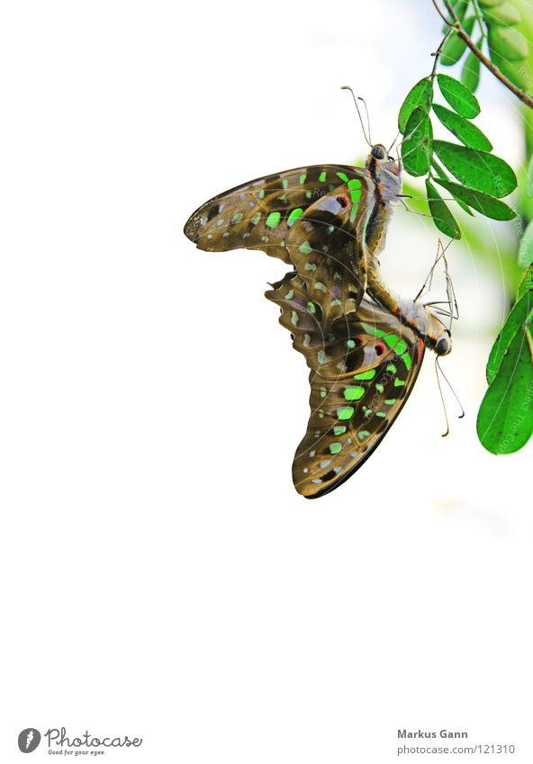Schmetterlinge schön weiß grün Farbe 2 Tierpaar Hintergrundbild Ecke paarweise Insekt Schmetterling hängen