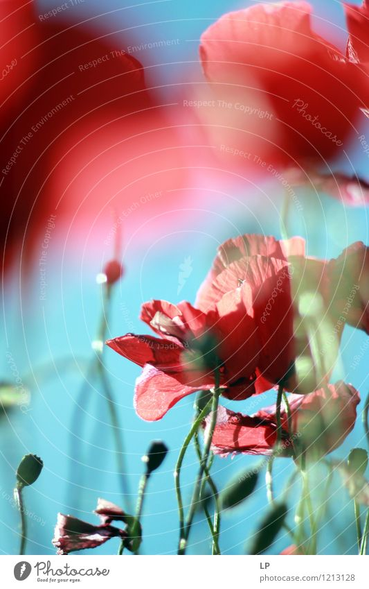 rot blau Umwelt Natur Pflanze Urelemente Luft Himmel Wolkenloser Himmel Sonnenlicht Frühling Sommer Klima Schönes Wetter Blume Wildpflanze Gefühle Stimmung