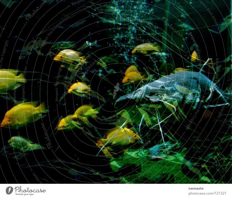 aquarium Wasser grün gelb Kraft Angst Fisch türkis Aquarium Panik Museum Schwarm Stuttgart Dortmund Fischschwarm Wels Naturkundemuseum