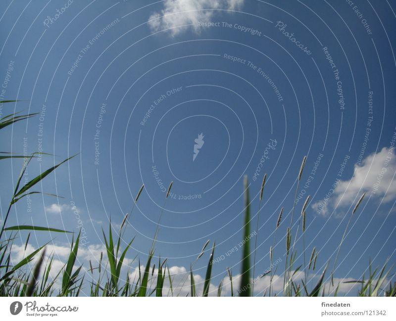Himmel Freiheit Sommer Gras positiv blau Farbfoto Außenaufnahme Menschenleer Textfreiraum oben Tag Froschperspektive himmelwärts Schilfrohr Blauer Himmel Halm