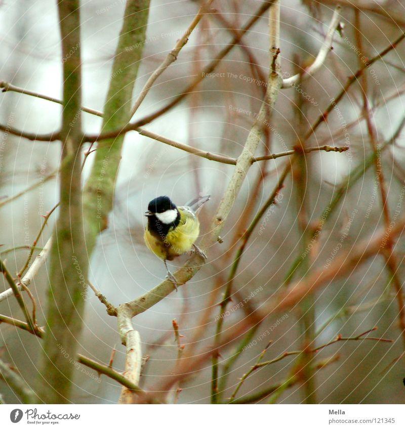 Meisenwinter III Vogel Sträucher Geäst Unterholz hocken Anspannung Kontrolle leer laublos Winter kalt gelb Kohlmeise Ornithologie Ast Zweig sitzen Blick blau