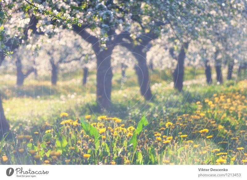 Blühender Apfelgarten mit gelbem Löwenzahn im Frühjahr Himmel Natur blau Pflanze weiß Sonne Baum Blume Blatt Blüte Garten Wachstum frisch Jahreszeiten Ostsee