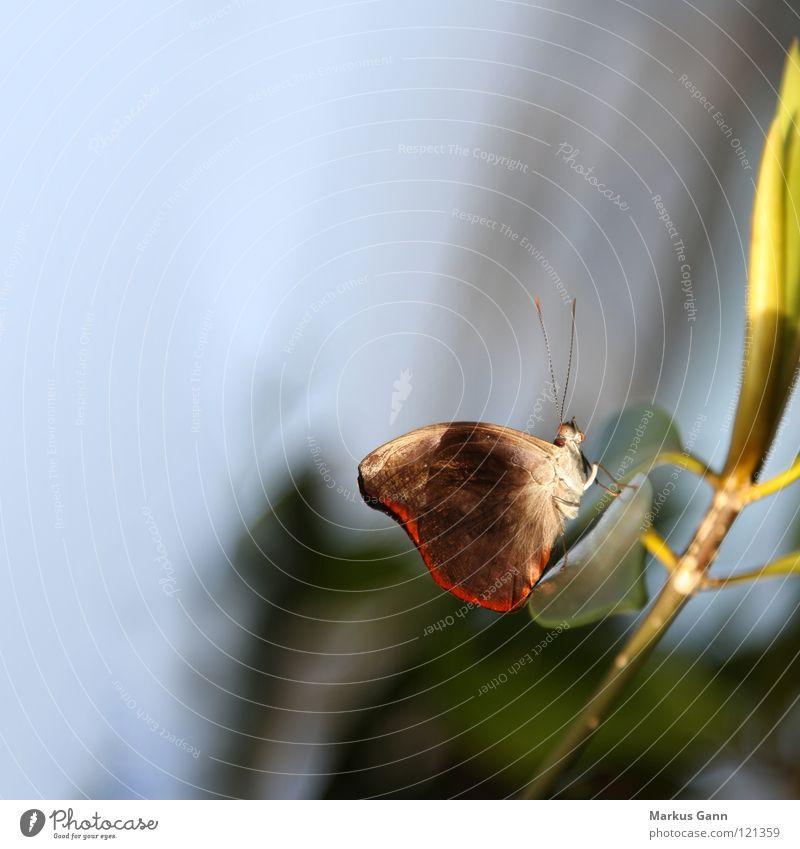 Schmetterling braun rot Streifen Insekt Fühler zart schön sitzen