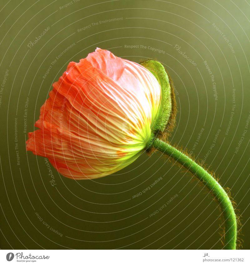 mohn Farbfoto Nahaufnahme Strukturen & Formen Hintergrund neutral Glück schön Pflanze Blume ästhetisch außergewöhnlich Wärme braun gelb grün Freude selbstbewußt