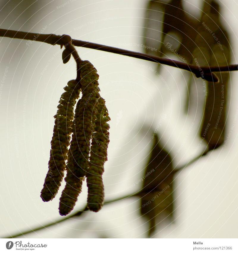 Hasel grün Pflanze grau Blüte Gesundheit fliegen Sträucher trist Ast hängen Pollen trüb Haselnuss