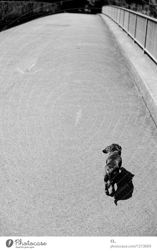 hinterherdackeln Schönes Wetter Brücke Tier Haustier Hund Dackel 1 Brückengeländer Bewegung laufen klein Tierliebe Wege & Pfade Ziel Schwarzweißfoto