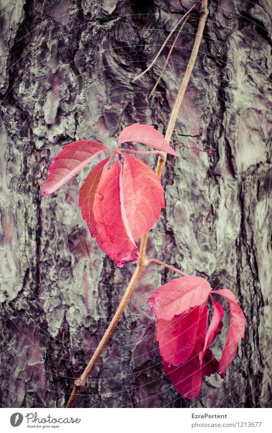 schäm dich! Umwelt Natur Pflanze Herbst Baum Blatt Wildpflanze Wald Holz natürlich braun rot Farbe Leben Tod Färbung Wein Wilder Wein wild Baumrinde Kiefer