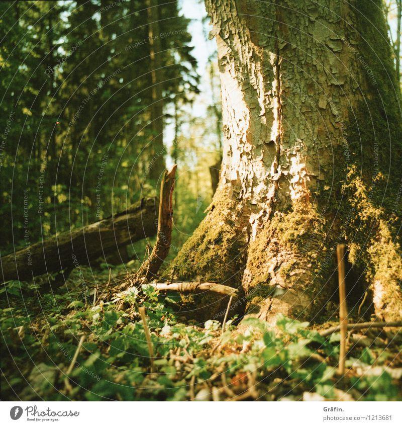 Sonnengeküsster Baum Umwelt Natur Pflanze Sonnenlicht Frühling Sommer Sträucher Moos Grünpflanze Wald glänzend leuchten Wachstum wild braun gelb grün Klima
