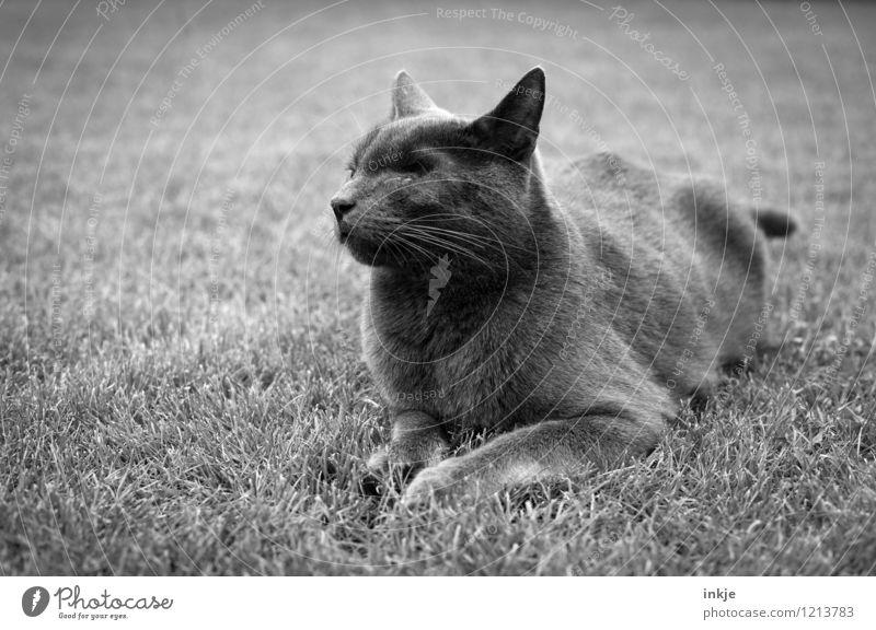 alter Kater Gras Rasen Garten Park Wiese Haustier Katze Tiergesicht Hauskatze 1 hocken liegen Gefühle Stimmung Schmerz verlieren fehlen Augenheilkunde Narbe