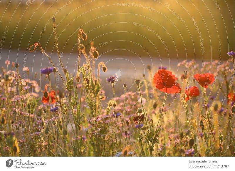 Auf der Verkehrsinsel I Umwelt Natur Pflanze Sommer Schönes Wetter Blume Blüte Mohn Kornblume Mohnblüte Blühend leuchten ästhetisch einfach Freundlichkeit