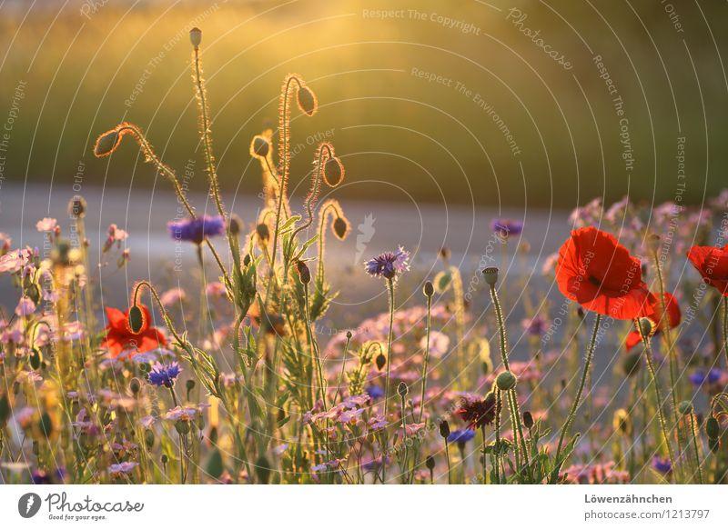 Auf der Verkehrsinsel II Umwelt Natur Sommer Schönes Wetter Pflanze Blume Blüte Mohnblüte Kornblume Blühend leuchten einfach Fröhlichkeit hell natürlich schön