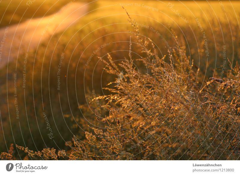... und sie spann Stroh zu Gold Natur Sommer Schönes Wetter Pflanze Gras Gräserblüte Feld Blühend leuchten ästhetisch glänzend klein natürlich Wärme gelb gold