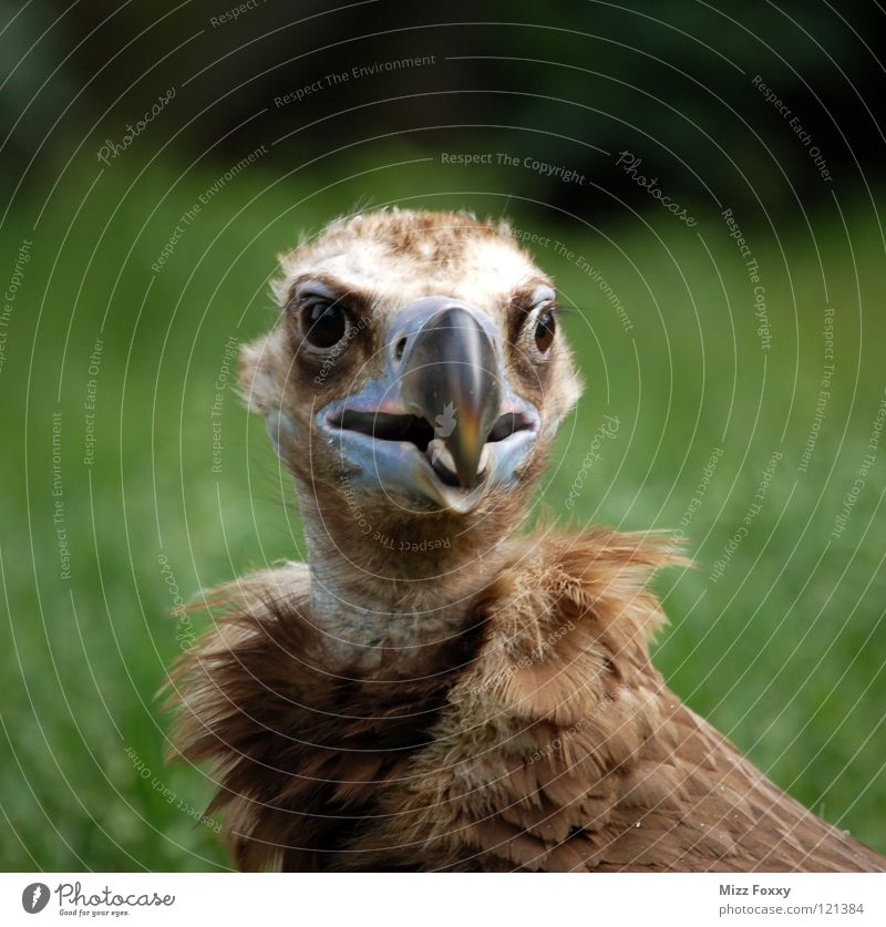 Der Clown braun Vogel Feder Zoo Schnabel Tier Artist Geier