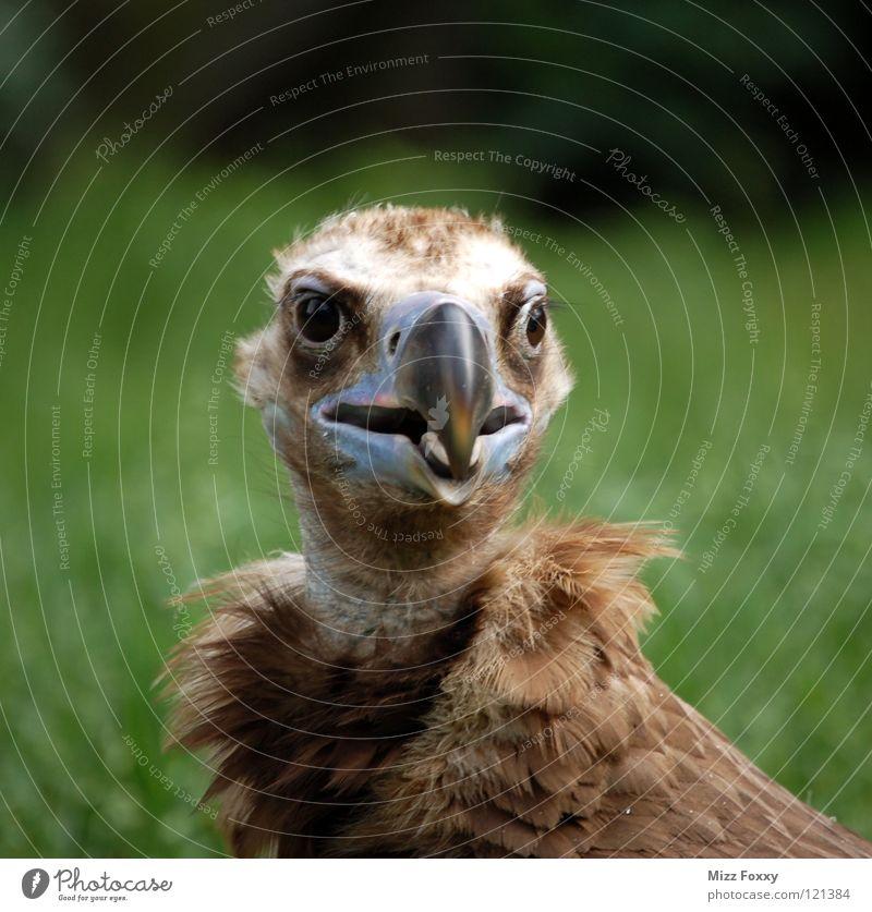 Der Clown Geier Vogel braun Zoo Schnabel Feder