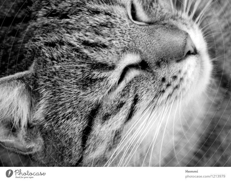 Schmusetiger II Tier Haustier Katze Tiergesicht Fell 1 Erholung schlafen Hauskatze Katzenkopf Katzenfreund Schwarzweißfoto Außenaufnahme Nahaufnahme