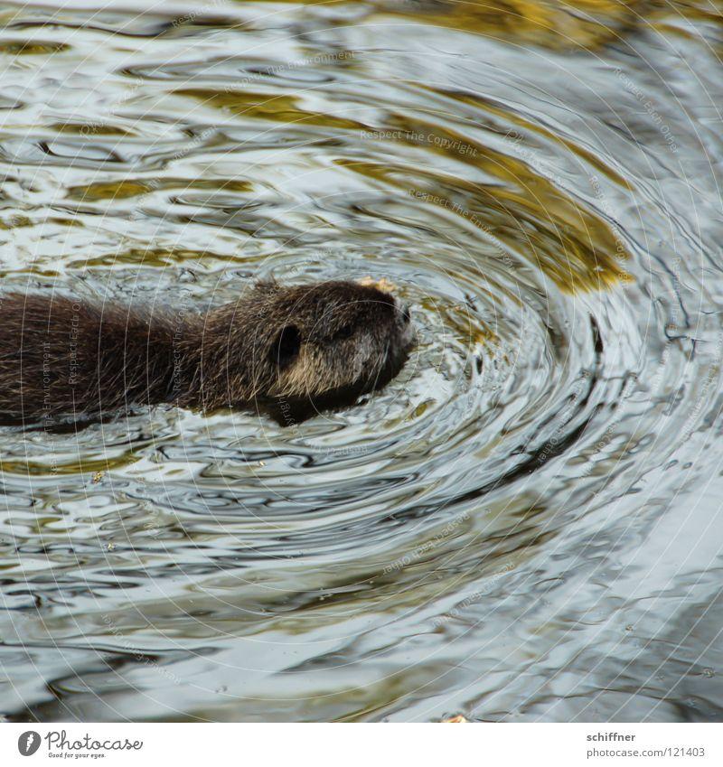 Rettungsschwimmer Wasser Tier Schwimmen & Baden nass Wildtier niedlich Fell Säugetier Wasseroberfläche Nagetiere Stubsnase Biberratte Bisamratte