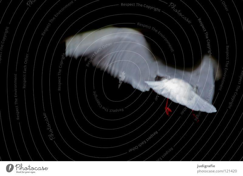 Flug Möwe Lachmöwe Vogel dunkel Tier weiß schwarz Farbe fliegen Flügel Luftverkehr Bewegung Dynamik Feder Natur seevogel elegant