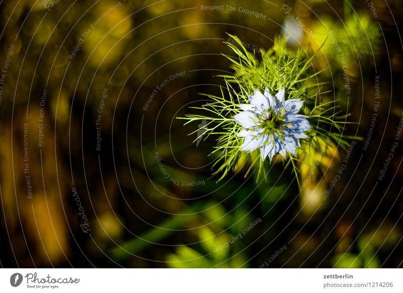 Jungfer im Grünen Natur Pflanze Sommer Blume Blatt dunkel Blüte Garten Textfreiraum Blühend Schrebergarten Ranunkel Hahnenfußgewächse