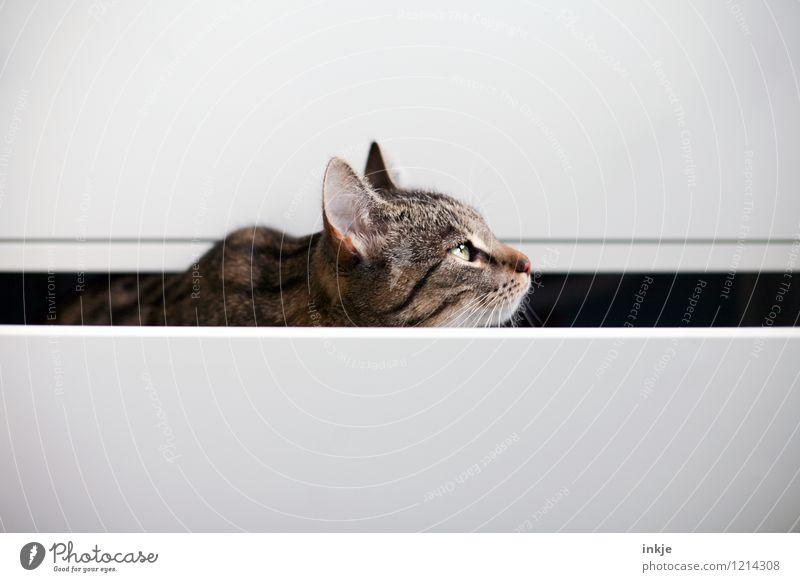 Katzenleben - Revierverteidigung Lifestyle Häusliches Leben Menschenleer Schublade Haustier Tiergesicht 1 beobachten hocken Blick Neugier braun weiß Gefühle
