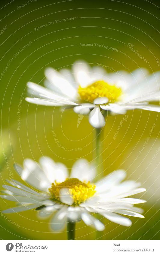 Sommerwiese Natur Pflanze Erde Frühling Schönes Wetter Blume Grünpflanze Rasen Gänseblümchen Garten Wiese Blumenwiese Wachstum gelb weiß Lebensfreude