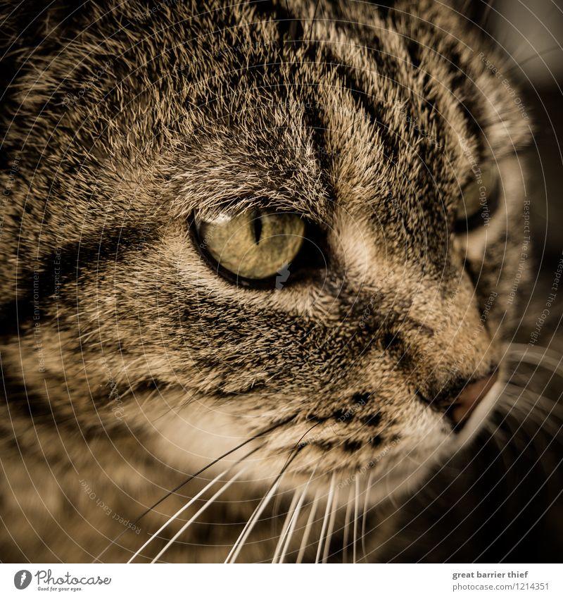 Wen oder was hat diese Katze im Auge? schön Tier schwarz gelb braun beobachten Fell Wachsamkeit Haustier Katzenauge Katzenkopf