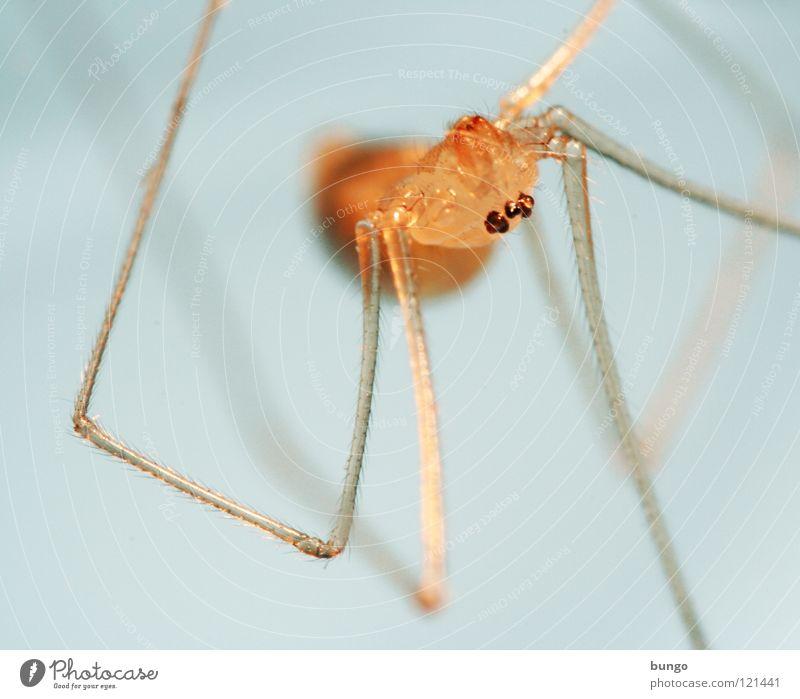 Guten Morgen, Tante Beagle Spinne Ekel klein Makroaufnahme Kieferklaue Mandibel Fresswerkzeug Gliederfüßer Angst Panik arthropoden spider fear disgust small